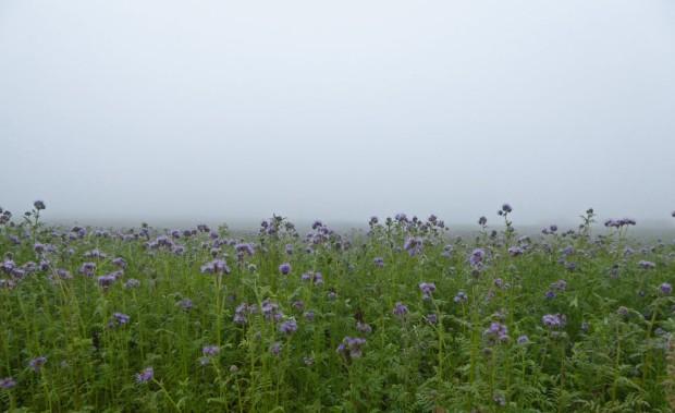 phacealia-nebel-herbst