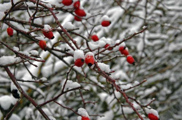 Weihnachten Schnee Hagebutte